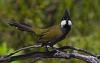 Eastern Whipbird HR.jpg