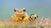 Aussie highly commended 2019 - Whirring Tree Frog and ladybug © Jason Curtius.jpg