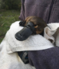 UNSW Science Platypus research image 1 - Picture by UNSW .jpg