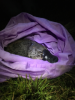 UNSW Science Platypus research image 2 - Picture by UNSW.JPG